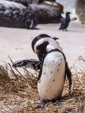 Pingüino de Blackfooted (demersus del Spheniscus) que prepara en la orilla Foto de archivo