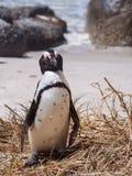 Pingüino de Blackfooted (demersus del Spheniscus) que se coloca en la orilla en Suráfrica Imagen de archivo