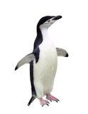 Pingüino de Chinstrap Fotos de archivo