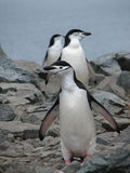 Pingüino de Chinstrap Imagen de archivo