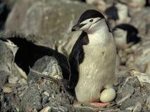 Pingüino de Chinstrap Imágenes de archivo libres de regalías
