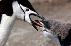 Pingüino de Chinstrap Imagenes de archivo