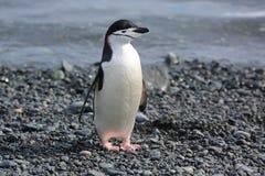 Pingüino de Chinstrap en la Antártida Foto de archivo libre de regalías