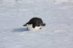 Pingüino de Chinstrap en la Antártida Foto de archivo