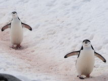 Pingüino de Chinstrap en la Antártida Imagen de archivo libre de regalías
