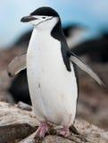 Pingüino de Chinstrap - las alas se abren Imagen de archivo libre de regalías