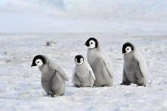 Pingüino de emperador imagen de archivo