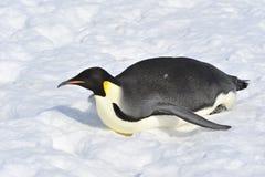 Pingüino de emperador Fotos de archivo