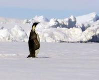 Pingüino de emperador Imagenes de archivo