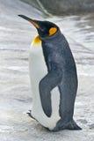 Pingüino de emperador Fotos de archivo libres de regalías