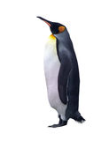 Pingüino de emperador aislado con el camino de recortes Imágenes de archivo libres de regalías