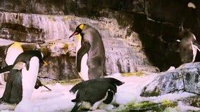 Pingüino de emperador corpulento, caminando entre otros pingüinos en el parque de tema de Seaworld almacen de metraje de vídeo