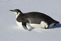 Pingüino de emperador joven que se arrastra en su vientre fotografía de archivo