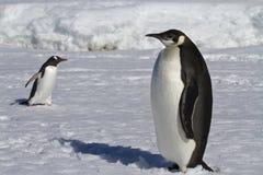 Pingüino de emperador y pingüinos jovenes de Gentoo fotografía de archivo libre de regalías
