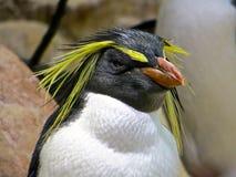 Pingüino de Fiordland foto de archivo