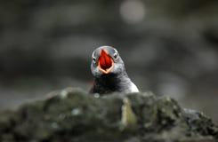 Pingüino de Gentoo Imagen de archivo libre de regalías