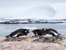 Pingüino de Gentoo Imagen de archivo
