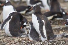 Pingüino de Gentoo con el polluelo - Falkland Islands Foto de archivo libre de regalías