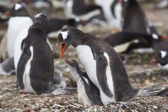 Pingüino de Gentoo con el polluelo - Falkland Islands Imagenes de archivo