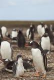 Pingüino de Gentoo con el polluelo - Falkland Islands Foto de archivo