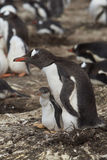 Pingüino de Gentoo con el polluelo - Falkland Islands Imágenes de archivo libres de regalías