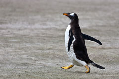 Pingüino de Gentoo Fotos de archivo libres de regalías