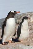Pingüino de Gentoo del pájaro del polluelo y del adulto cerca Imagen de archivo