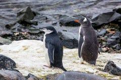 Pingüino de Gentoo en el fondo del océano Fotos de archivo libres de regalías