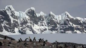 Pingüino de Gentoo en la jerarquía