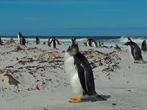 Pingüino de Gentoo en la playa Malvinas IUslands de Bertha imagen de archivo