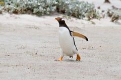Pingüino de Gentoo, Falkland Islands Foto de archivo libre de regalías