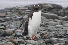 Pingüino de Gentoo, la Antártida Imagenes de archivo