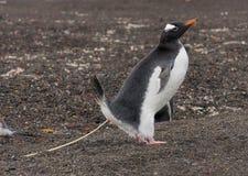 Pingüino de Gentoo pooping en la acción Imagen de archivo