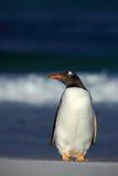 Pingüino de Gentoo, Pygoscelis Papua, colocándose en la playa blanca con la onda azul marino del mar, Falkland Islands Fotografía de archivo libre de regalías