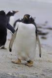 Pingüino de Gentoo (Pygoscelis Papua) en el punto voluntario, Malvinas I Fotos de archivo libres de regalías
