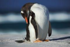 Pingüino de Gentoo, Pygoscelis Papua, plumaje de limpieza en la playa blanca con la onda azul marino del mar, Falkland Islands Foto de archivo
