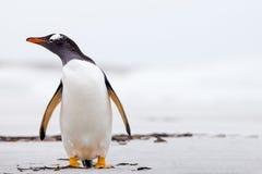 Pingüino de Gentoo (Pygoscelis Papua) que se coloca en una playa blanca de la arena Imágenes de archivo libres de regalías