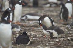 Pingüino de Gentoo que alimenta su polluelo en una isla más triste Imagenes de archivo