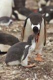 Pingüino de Gentoo que alimenta un polluelo - Falkland Islands Imágenes de archivo libres de regalías
