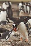 Pingüino de Gentoo que alimenta un polluelo - Falkland Islands Imagenes de archivo
