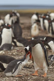 Pingüino de Gentoo que alimenta un polluelo - Falkland Islands Foto de archivo