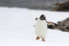 Pingüino de Gentoo que camina Imagen de archivo libre de regalías