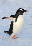 Pingüino de Gentoo que camina en el invierno de la nieve Imagen de archivo libre de regalías