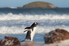 Pingüino de Gentoo que da un paseo a lo largo de la playa de Bertha, Falkland Islands Foto de archivo