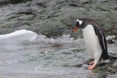 Pingüino de Gentoo que entra en el agua, la Antártida Foto de archivo libre de regalías