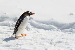 Pingüino de Gentoo que recorre en nieve Imagen de archivo libre de regalías
