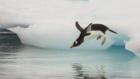 Pingüino de Gentoo que salta en el agua Imagenes de archivo