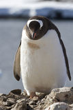 Pingüino de Gentoo que se coloca cerca de una jerarquía debajo Fotos de archivo