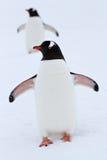Pingüino de Gentoo que se coloca en el revestimiento del invierno de la nieve Imagen de archivo