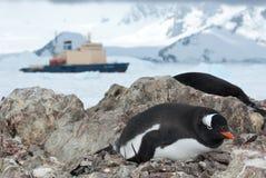 Pingüino de Gentoo que se sienta en la jerarquía y el rompehielos en el backgro Foto de archivo libre de regalías